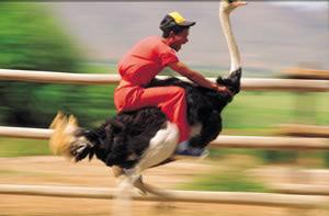 Funny ostrich ride.