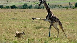Giraffe attacks lion pride