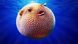 Pufferfish puffing up